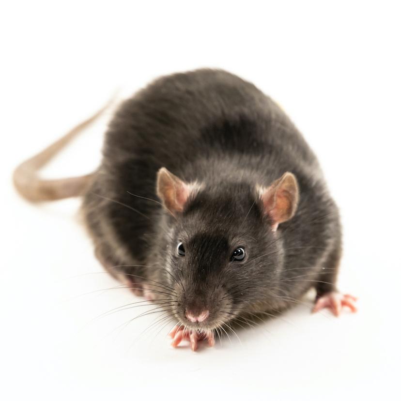 ネズミを追い出す方法18個!侵入させない予防法と遭遇した時の対処法