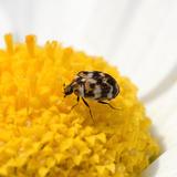 カツオブシムシの駆除方法4つ!大量発生する原因や対策法
