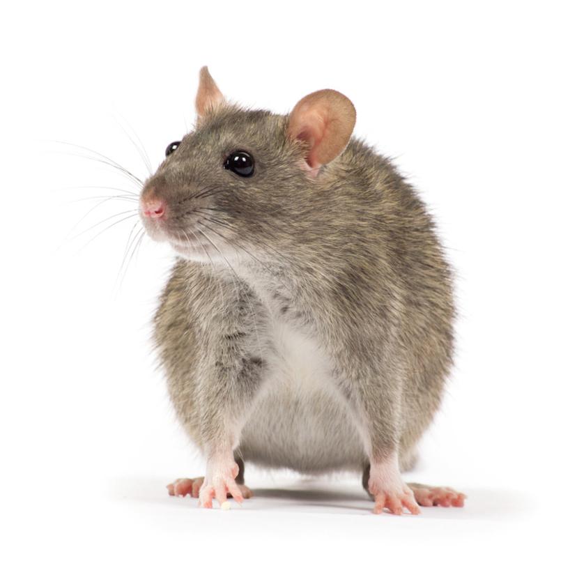 ネズミを簡単に自分で駆除する方法6つ!併せてやるべき対策も
