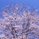 桜の木や枝につく虫・害虫3つと駆除方法!つかないための対策も