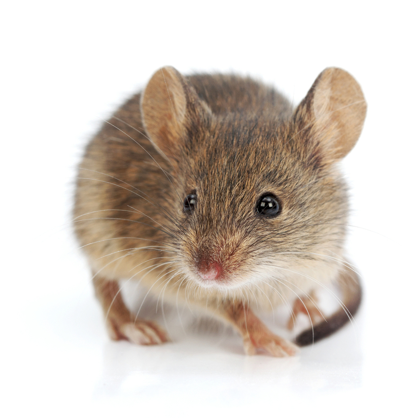 効果的なネズミの駆除方法5選