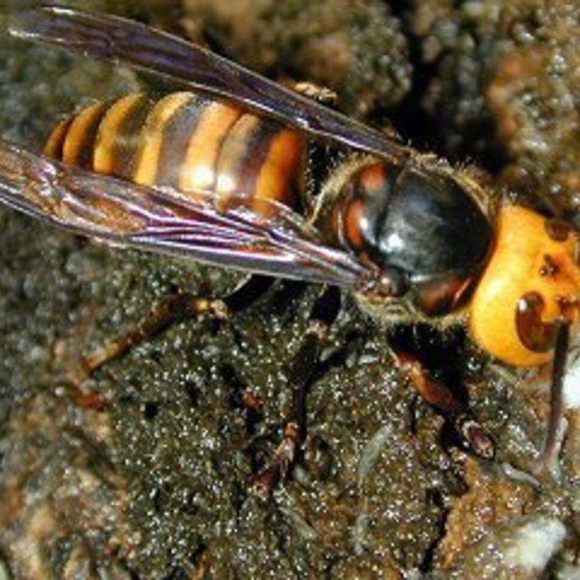 スズメバチは9種類もいる!見分け方と駆除方法