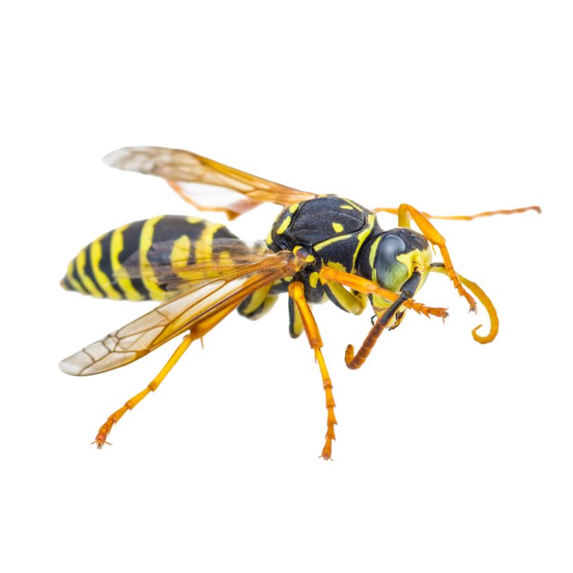 スズメバチの巣を自分で駆除する方法と準備3点【業者料金相場比較表付】