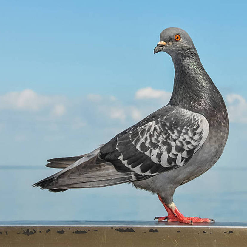 ベランダの鳩よけ駆除対策11個の方法。業者の相場料金や法律は?