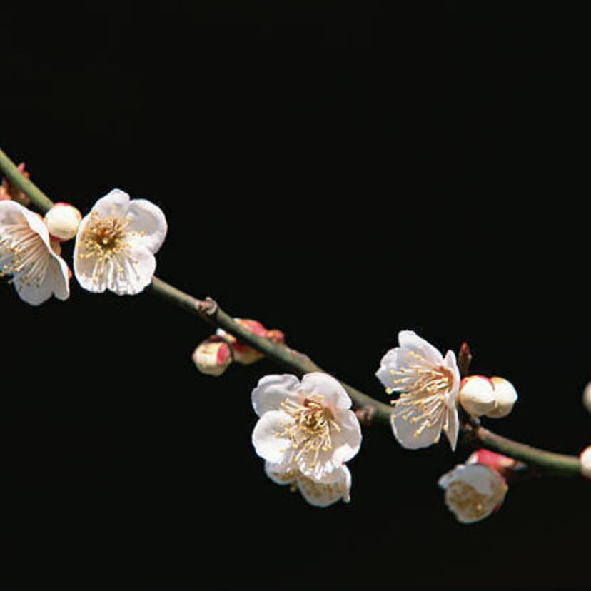 梅の剪定方法とコツ6選を解説!いつの時期から梅は剪定すべき?