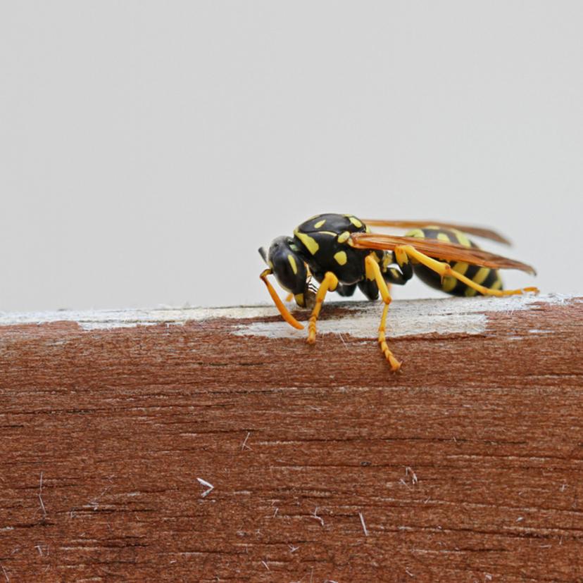 アシナガバチの特徴と駆除方法10ステップ!プロの料金相場比較表つき