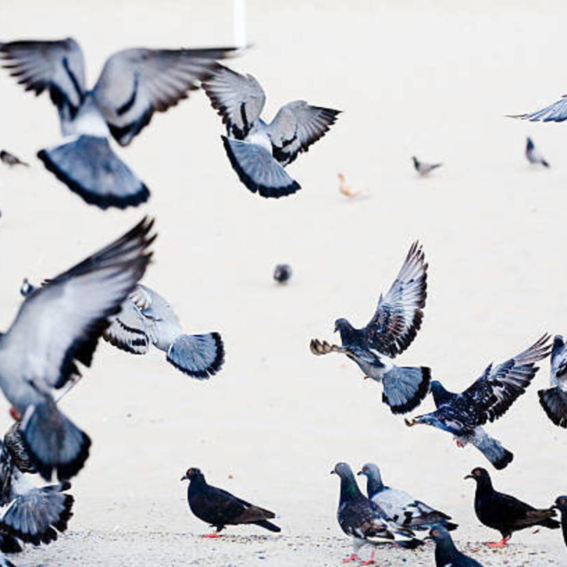 鳩の効果的な撃退方法15個とおすすめ鳩撃退グッズ20
