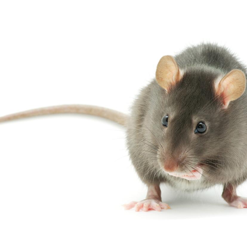ネズミの音?屋根裏にいるネズミを退治する駆除方法5つ
