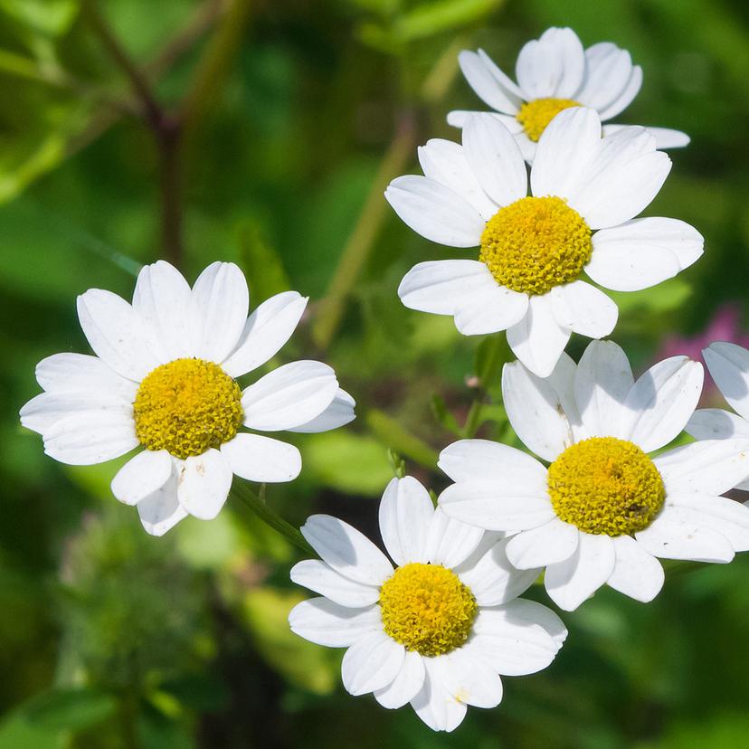除虫菊の成分・効果と育て方5ステップ!植えただけで防虫効果あり?