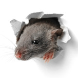 家ネズミの種類と出る原因は?家から追い出す対処方法10個