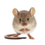 ネズミ捕りグッズおすすめランキング15個!薬局でも買える