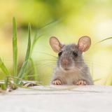 ネズミを撃退・追い出す方法7つ!猫の鳴き声でも撃退できる?