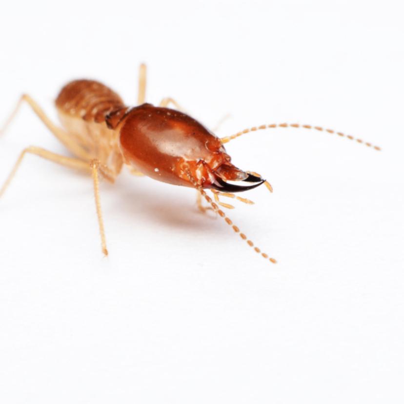 シロアリ6種類の特徴と見分け方。黒アリとの見分け方は?