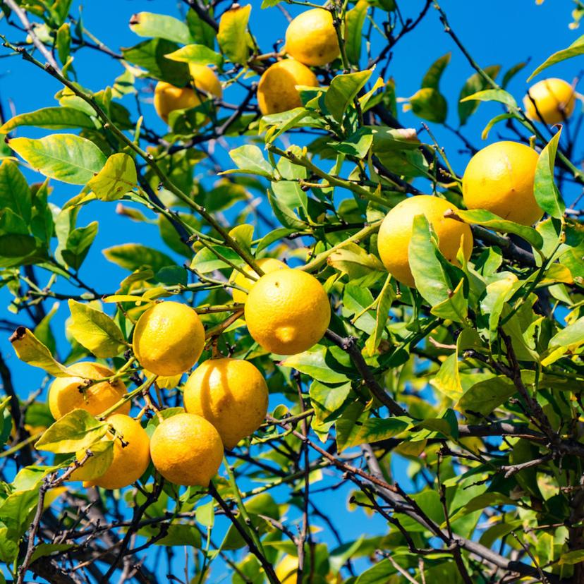 レモンの木の剪定方法!正しい時期やコツ・年次ごとの剪定法も