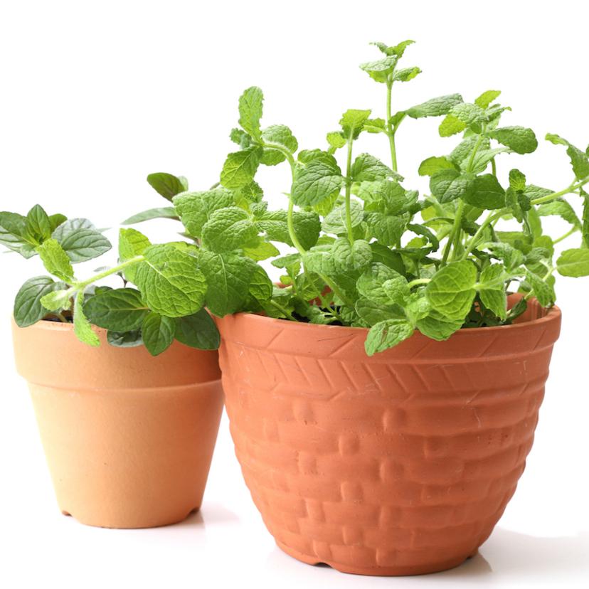 虫除けにおすすめの植物15個!育て方も解説。玄関や室内用も。