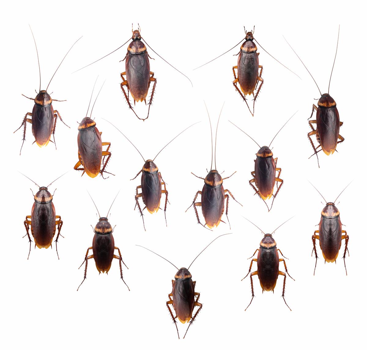 ゴキブリ 沖縄 の