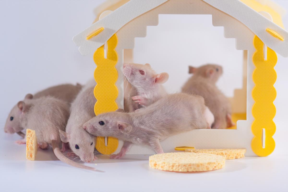 取り 粘着 方 捕り ネズミ