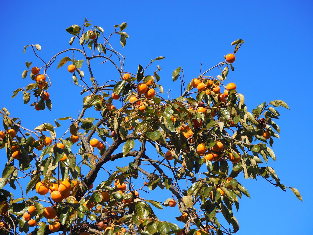 柿の木 の 剪定 時期